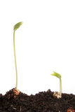 Two runner bean seedlings. Two bean seedlings in soil against a white background Stock Photos