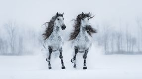 Two galloping dapple-grey long-maned Purebred Spanish horses Stock Image