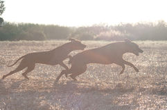 Two running dog. Two rhodesian ridgeback running on field Stock Photography