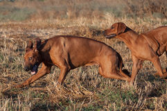 Two running dog. Two rhodesian ridgeback running on field Royalty Free Stock Photography
