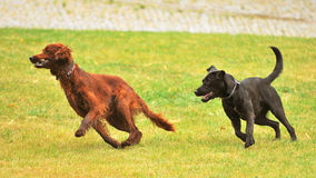 Two running dogs. Irish Setter and black dog running across the lawn royalty free stock images