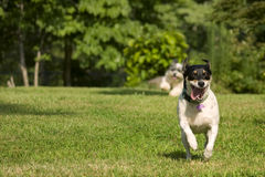 Two running dogs Stock Photos