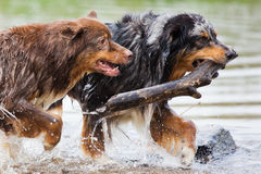 Two running dogs. Two running Australian Shepherd dogs running with a branch through the water Stock Photos