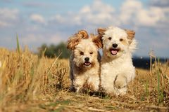 Two running dogs in the sunshine. Two small dogs are running on a stubble field in the sunshine stock photos