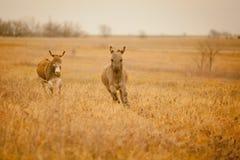 Two running donkeys Stock Photos