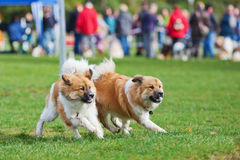 Two running Elo dogs. Two Eo dogs having a dog race on a dog place royalty free stock images