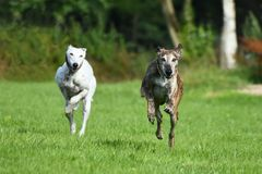 Two running greyhounds Stock Photo