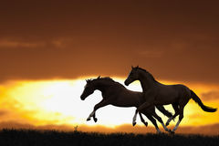 Two running horses royalty free stock photo