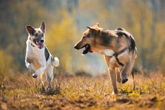 Two running mongrel dogs in yellow meadow at sunny day. Front view at two running forward mongrel dogs in yellow meadow at sunny day. Dogs are looking to each royalty free stock image