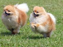 Two running pomeranian dogs