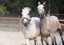 Two running white horse on farm Royalty Free Stock Images