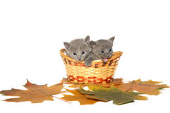 Two Russian blue kittens stock images