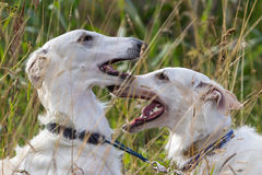 Two russian hound dogs. Play in high grass Stock Photos