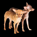 Two Russian toy terrier Royalty Free Stock Photography