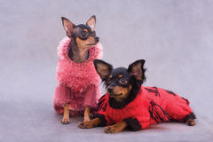 Two Russian Toy Terrier In Clothes Stock Images
