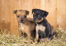 Two Russian Toy Terrier puppies Royalty Free Stock Image