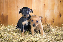 Two Russian Toy Terrier puppies Stock Photography