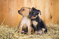 Two Russian Toy Terrier puppies Stock Image