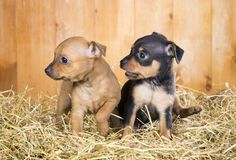 Two Russian Toy Terrier puppies Royalty Free Stock Images