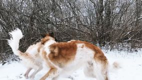 Two Russian Wolfhound Hunting Sighthound Russkaya Psov. Aya Borzaya Dogs Playing With Each Other At Winter Day In Snowy Field. Pan, Panorama. Slow Motion stock video