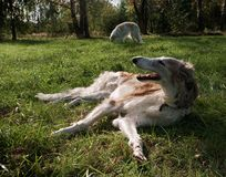 Two Russian Wolfhounds. Two borzoi dogs in the field Stock Photography