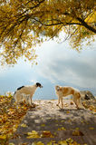Two russian wolfhounds Stock Images