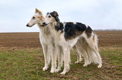 Two russian wolfhounds Royalty Free Stock Photos