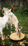 Two rustic goat Royalty Free Stock Photo