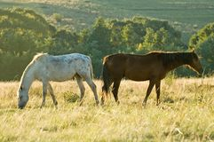 Two rustlers Horses grazing. Two horses with different point of view, graze peacefully in this Free State pasture, South Africa Royalty Free Stock Photos