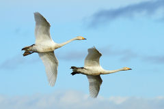 Two's Company. Two migratory Icelandic Whooper Swans in flight over southwest Scotland royalty free stock image