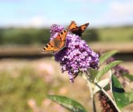 Two`s Company. A pair of Common Tortoiseshell Butterflies Stock Photo