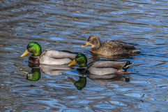 Two's Company. Three mallards, two male and one female swimming together, you have to wonder who will win the ladys affection Royalty Free Stock Images