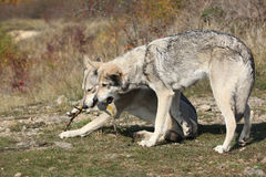 Saarloos Wolfhounds playing Royalty Free Stock Photo