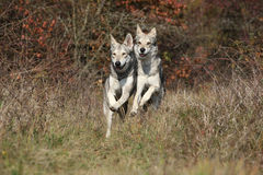 Two Saarloos Wolfhounds running Royalty Free Stock Photos