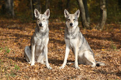 Saarloos Wolfhound Royalty Free Stock Photos