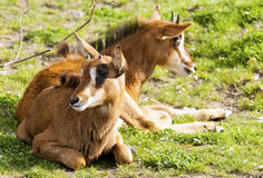 Two sable antelopes Royalty Free Stock Photography