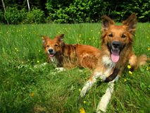 Two sable border collies. Two sable border collie dogs lying down on a field with flowers Stock Photo