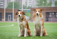 Two sable border collie dogs. Sitting in the stadium in the rain stock photos