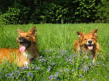 Two sable border collies. Two sable border collie dogs lyig on a meadow with flowers stock photography