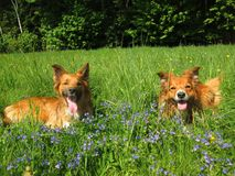 Two sable border collies. Two sable border collie dogs lyig on a meadow witj flowers Stock Photo