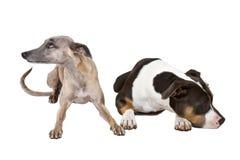 Two sad dogs Stock Image