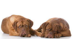 Two sad dogs Royalty Free Stock Image