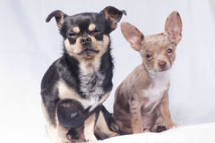 Two sad looking  chihuahua dogs Royalty Free Stock Images