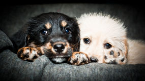 Two sad puppies. They are alone, sad and they want you to their owner. Love and game, that's all what they want Royalty Free Stock Photography