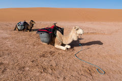 Two saddled camels rest before the road Royalty Free Stock Image