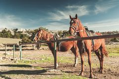 Two saddled red horses stand tethered stock image