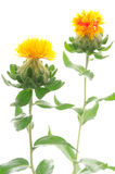 Two safflower flowers Royalty Free Stock Photos