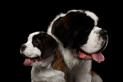 Two Saint Bernard Dog, Puppy and her Mom on Isolated Black Background Stock Photos