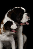 Two Saint Bernard Dog, Puppy and her Mom on Isolated Black Background Royalty Free Stock Photo