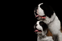 Two Saint Bernard Dog, Puppy and her Mom on Isolated Black Background Royalty Free Stock Image